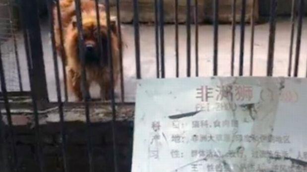 """Zoológico chino """"disfrazaba"""" a perros de leones y a ratas como reptiles"""