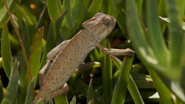 Nacen 33 crías de camaleón, una especie amenazada en España