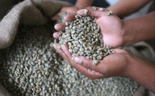 Plaga de roya amarilla ha afectado 108 mil hectáreas de cultivos de café en el país