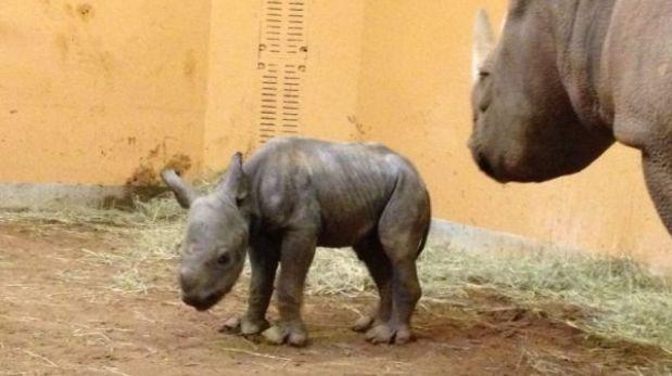 Rinoceronte negro bebe es la nueva esperanza para recuperar la especie