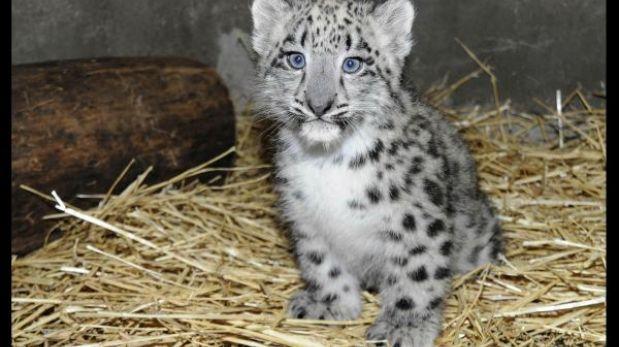 Presentan a cachorro de leopardo de las nieves en zoológico de EE.UU.