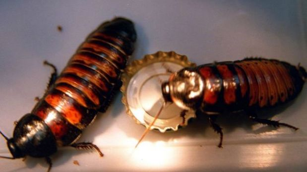 Al menos un millón de cucarachas escapan de un criadero en China