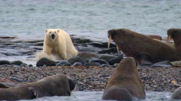 Una misión para salvar a las morsas y osos polares del ártico ruso
