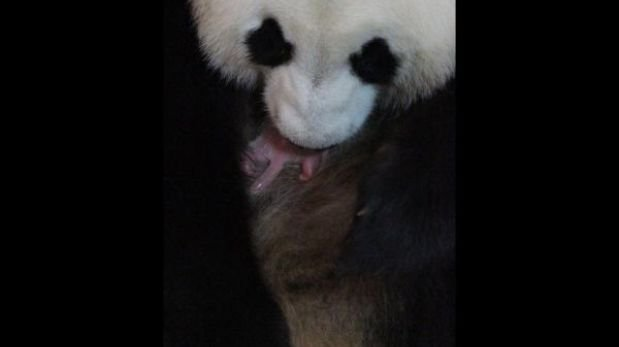 Un oso panda nació en zoológico español