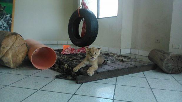 Esta es la leona bebe que se roba las miradas en el zoológico de Huachipa [FOTOS]
