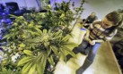 En Nueva York se podrá consumir marihuana con fines médicos