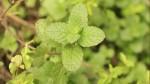 Once plantas medicinales que deberías tener en casa - Noticias de llantén