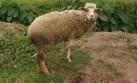 Confirman la presencia de ántrax en una oveja