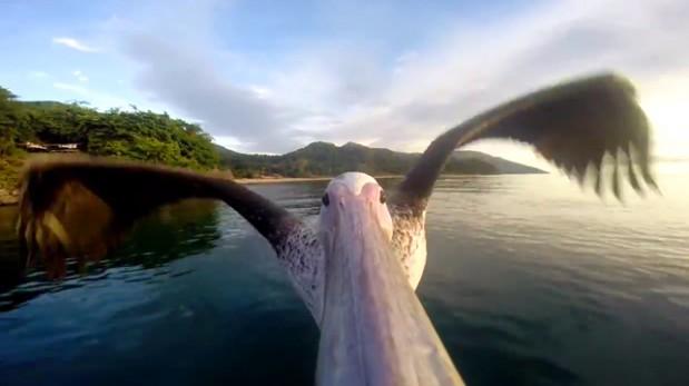 [Video] Mira esta espectacular toma del vuelo de un pelícano