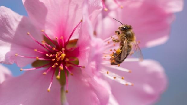 Nuevo estudio vincula un insecticida con desaparición de abejas