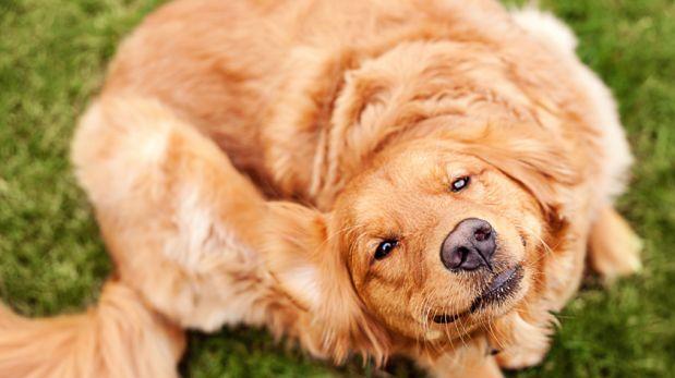 Cuida su pelo: Tu mascota podría tener caspa