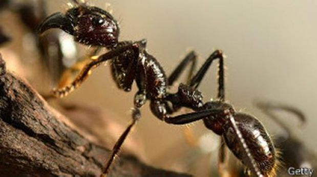 ¿Pesan todas las hormigas juntas más que toda la humanidad?