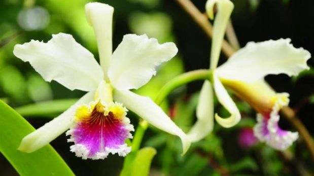 Conozca la historia del robo de una orquídea endémica peruana