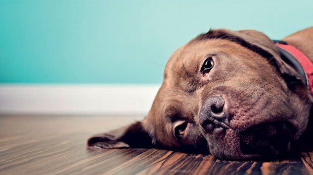 Cuidado con la torsión de estómago de tu mascota