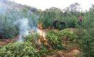 Más de 15 mil plantones de marihuana incinerados en Piura