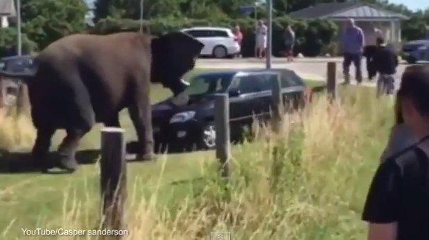 YouTube: Elefante se escapa del circo y destroza un auto