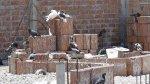 Callao alerta ante riesgos por sobrepoblación de palomas - Noticias de dr julio segura