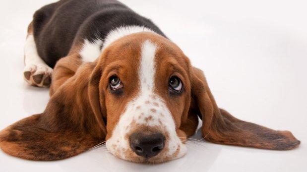 Oídos siempre limpios: cuida la higiene de tu mascota
