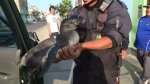 Nuevo Chimbote: pingüino fue hallado deambulando en la calle - Noticias de ino