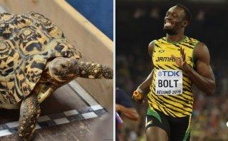 ¿Cuánto tiempo le tomaría a una tortuga disputar 100m planos?