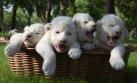 Leones y tigres bebé concientizan sobre la cacería en Crimea