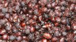 San Martín: aumenta venta de hormigas comestibles en mercados - Noticias de insecto gigante