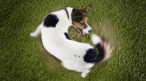 Tu perro trata de atraparse la cola, ¿bueno o malo?