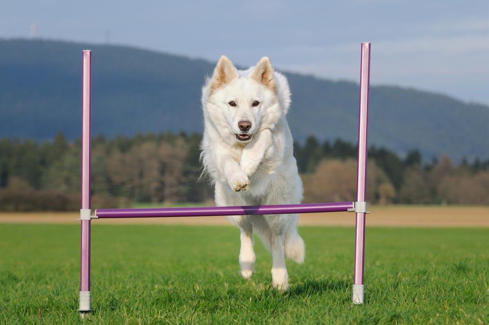 ¿Qué hacer para que tu perro gane una competencia canina?