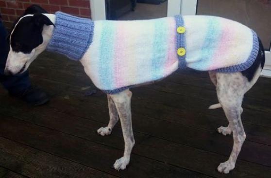 Dejó su trabajo para tejer chompas a perros abandonados