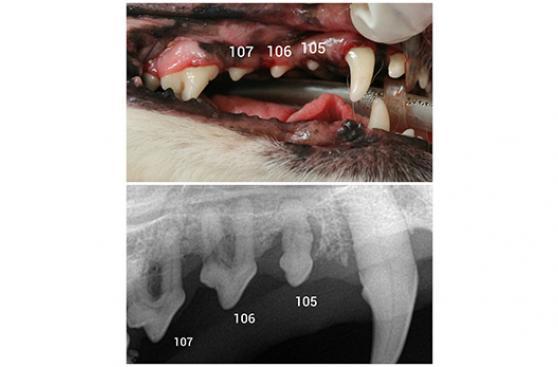 Ignorar la salud dental animal puede ser fatal