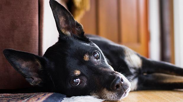 Ojo, la diabetes no discrimina a las mascotas