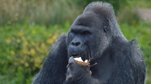 Duerme en el zoológico de Bristol y toma desayuno con gorilas