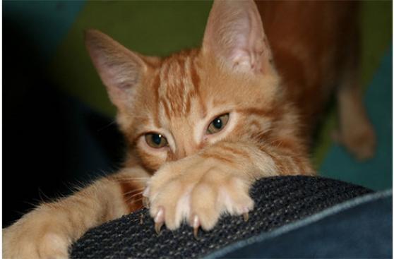 Los gatos y sus garras ¿Por qué no extraerlas?