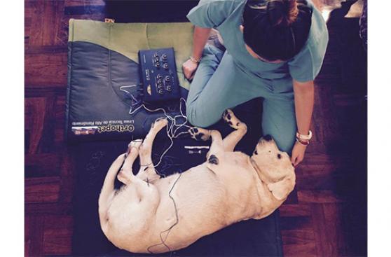 Más mascotas se benefician con la acupuntura
