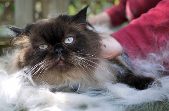 Cepillar a tu gato es crucial para su salud