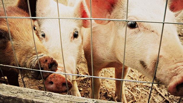 Veganismo, en defensa de los animales