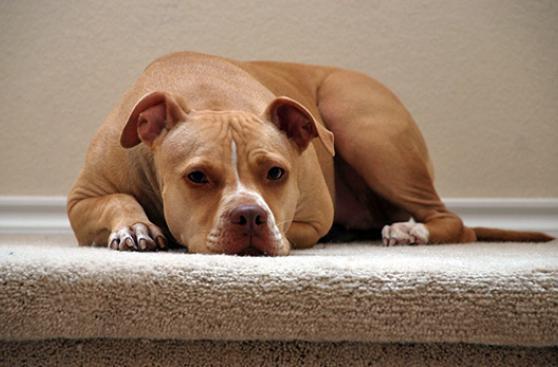 Víctima de 'pitbull' culpa a propietarios