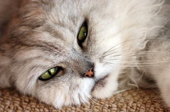 Conoce a la gran enemiga de los gatos