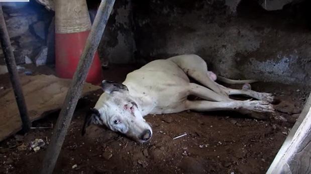 Hermosa recuperación de perro abandonado e inválido