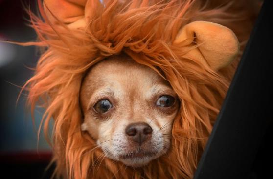 El divertido Halloween canino de Estados Unidos [FOTOS]