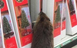 """El singular """"cliente"""" que fue en busca de un árbol navideño"""