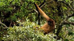 La fiebre amarilla en Brasil está matando a cientos de monos