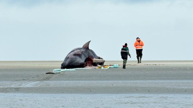 NASA estudia relación entre tormentas solares y cetáceos