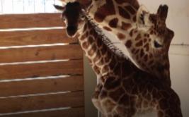 [BBC] Así fue el parto de la jirafa del zoológico de Nueva York