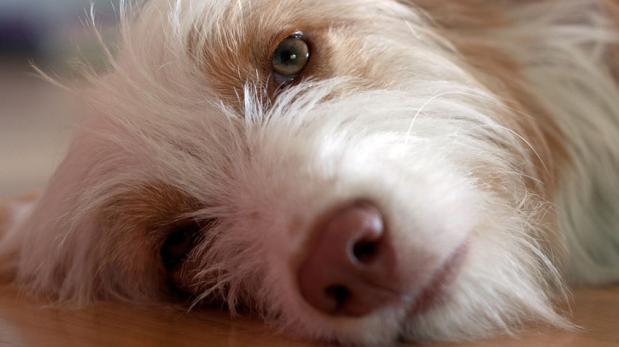 ¿Cómo ayudar a tu perro si se está asfixiando?