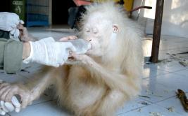 Indonesia busca nombre para extraña especie de orangután albino