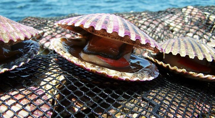Conchas de abanico: Un negocio rentable en la profundidad del mar