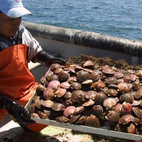 El principal mercado de Acuapesca es Francia, con el 80% de la producción, el resto se divide entre países europeos y Australia. Se calcula que 98% de la producción de conchas es para exportación.