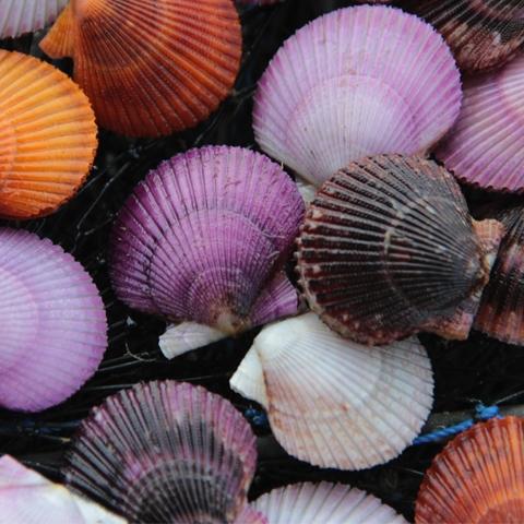 Se debe esperar 14 meses para que las conchas alcancen un tamaño de 7.5 centímetros.