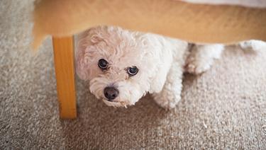 5 cuidados para que tu mascota no sufra con los pirotécnicos
